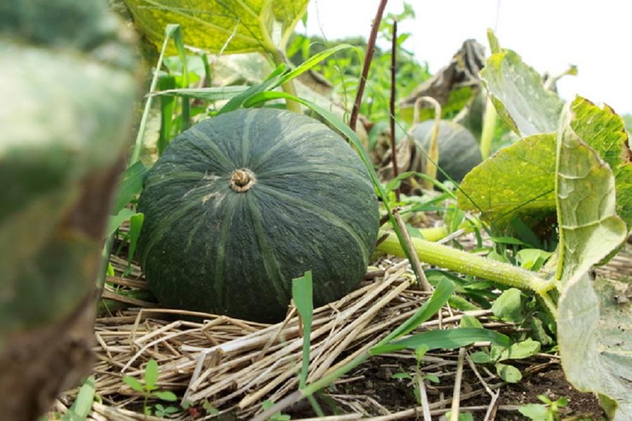 かぼちゃの栄養と効能をまとめて5つ紹介