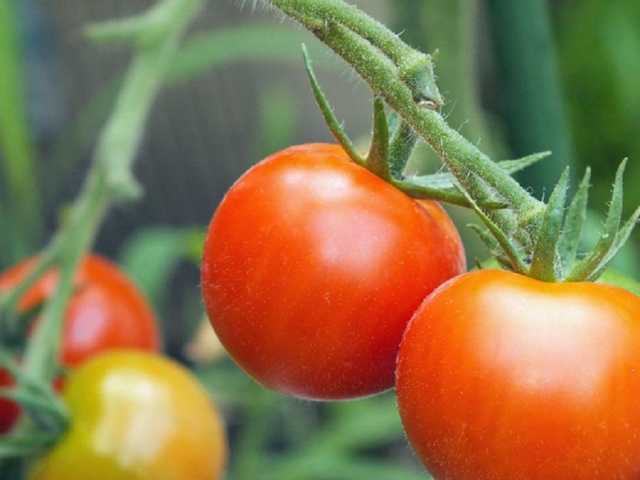茎にぶら下がるミニトマト