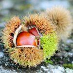 栗の栄養と7つの効能について